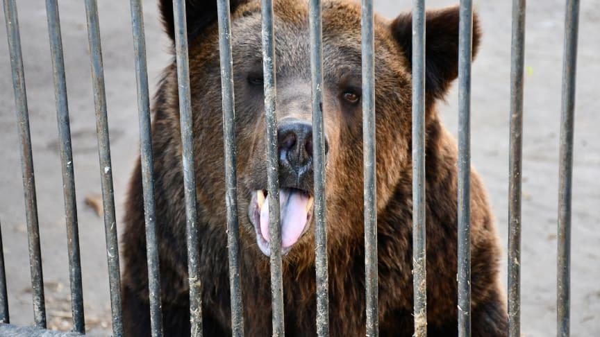 Hunderte Braunbären werden in der Ukraine unter Missachtung der Berner Konvention in kleinen Käfigen gehalten.
