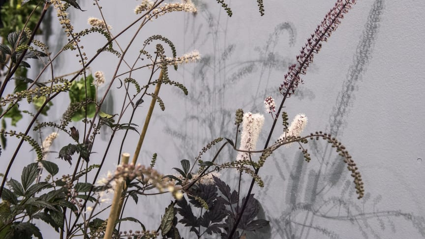 Actaea simplex, Sweden's Perennial of the Year for 2018