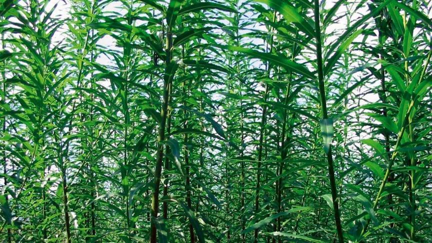 Salixen kommer till heders, men inte för att producera