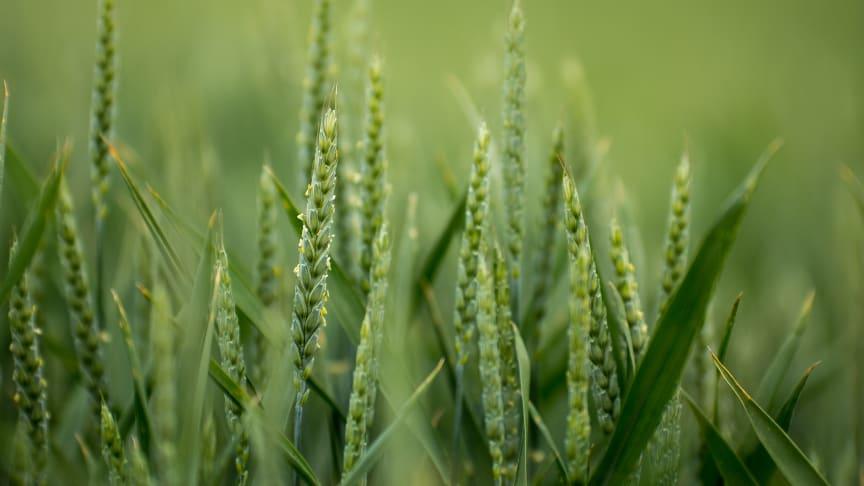 Nu sås spannmålet som gör Sverige självförsörjande – och som till hösten blir till bröd