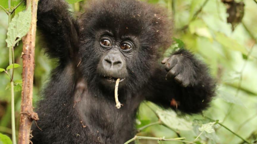 Die Kompensation erfolgt für ein Klimaschutzprojekt in Ruanda, das u. a. den Lebensraum für Berggorillas erhält. (Bildquelle: myclimate)