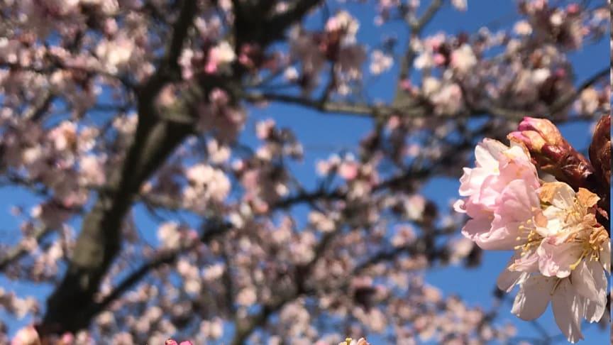 Folkets park i Malmö 26 mars. Våren är på väg! Foto: Jeanette Rosengren