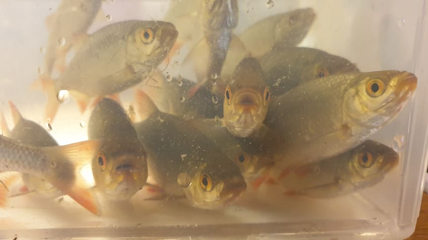 NIVA har evaluert bruk av miljø-DNA som overvåkningsmetode for spredning av fremmed ferskvannsfisk i Norge. Protokoller for blant annet fiskearten sørv er nå klar til bruk i forvaltningen. (Foto: Guttorm Christensen/Akvaplan-niva)