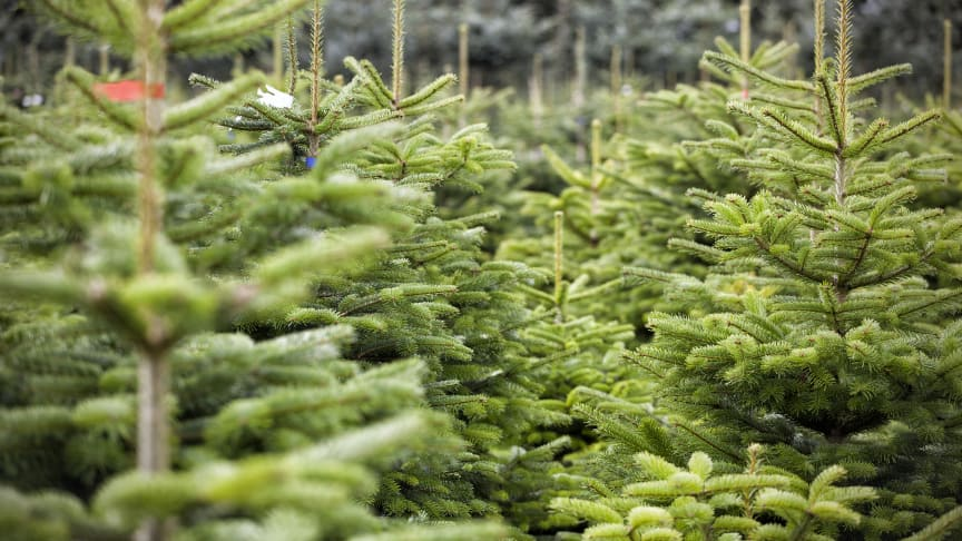 Danske juletræer kan give varme til 3,9 millioner brusebade