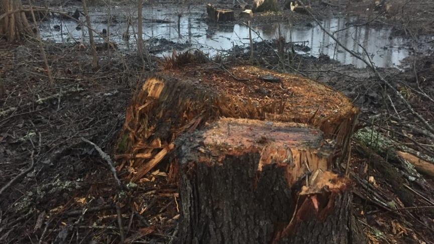 Brugen af biomasse er løbet løbsk til skade for klimaet, naturen og biodiversiteten