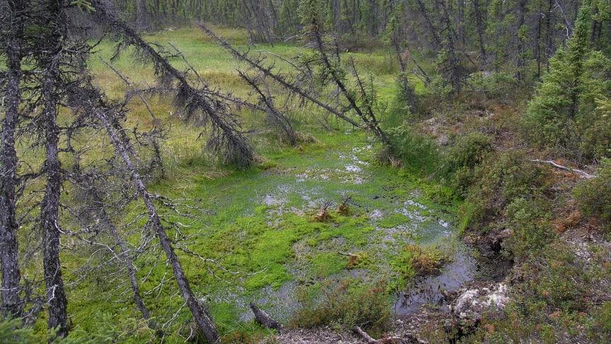 Markkollaps när permafrosten tinar, Misaw Lake i Kanada. Foto: Britta Sannel.