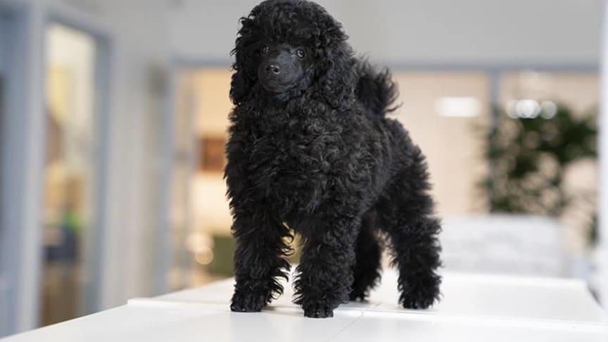 Dvärgpudeln Bri är en av de närmare 40 hundar som följer med matte eller husse till jobbet på Sveland Djurförsäkringar.