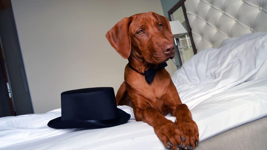 Rekordmånga hundar firar stressfritt nyår på hotell