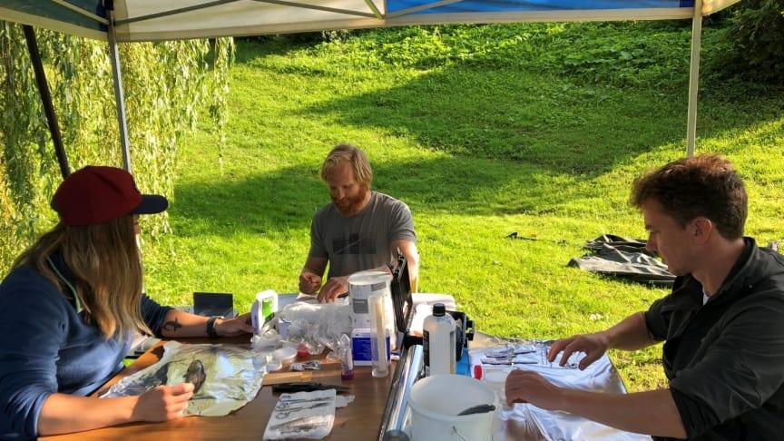 Disseksjon av fisk i felt august 2019. F.v.: Anne Luise Ribero, Jan Erik Thrane og Espen Lund, alle NIVA. (Foto: Kine Bæk, NIVA)