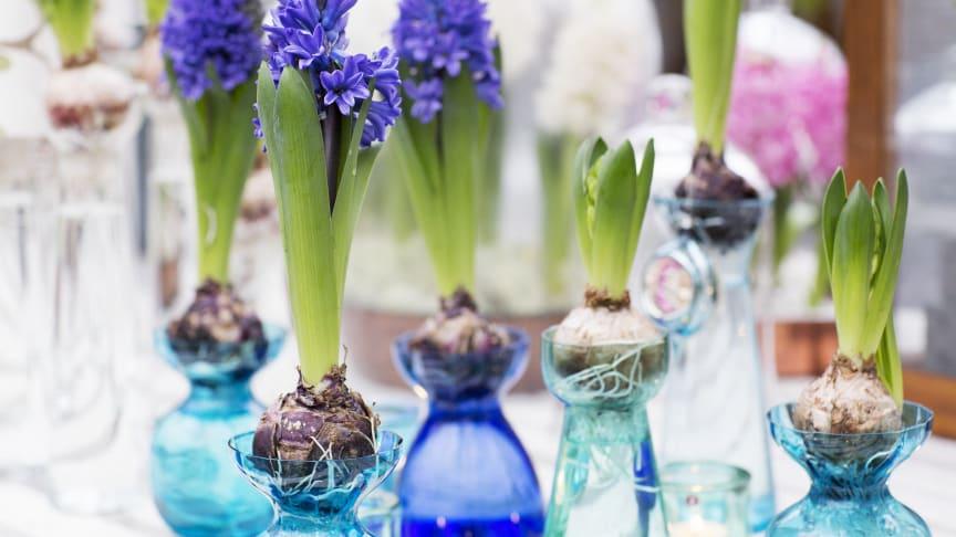 Svenska hyacinter doftar jul