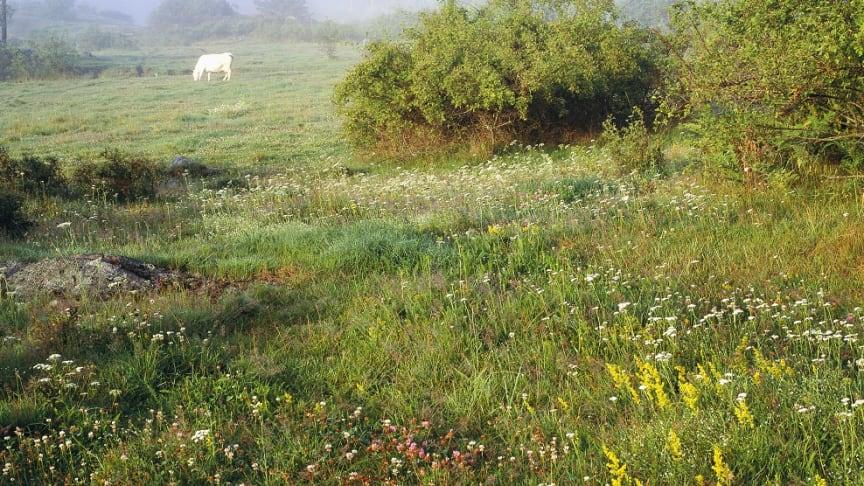 Certifierat naturbeteskött kommer från djur som betat på de mest artrika ängarna och hagarna i Sverige