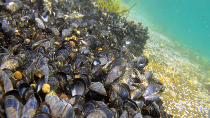 I den ferske rapporten «Microplastics in marine bivalves from the Nordic environment» går det blant annet frem at blåskjell kan være særlig egnet som indikatorart for å overvåke mikroplast i visse marine miljøer. (Ill.foto: Janne Gitmark/NIVA)