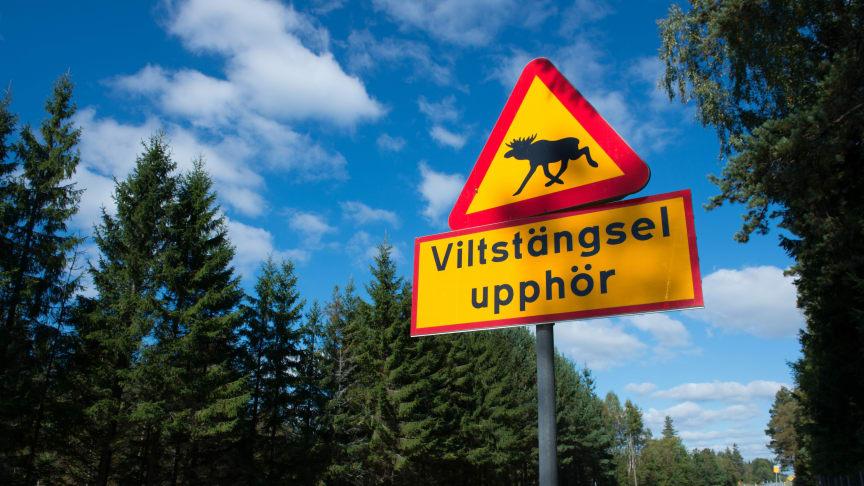Redan nu i september har olycksstatistiken nått upp till ca 37 000 rapporterade viltolyckor, framför allt med rådjur, vildsvin och älg (statistik från Nationella Viltolycksrådet).