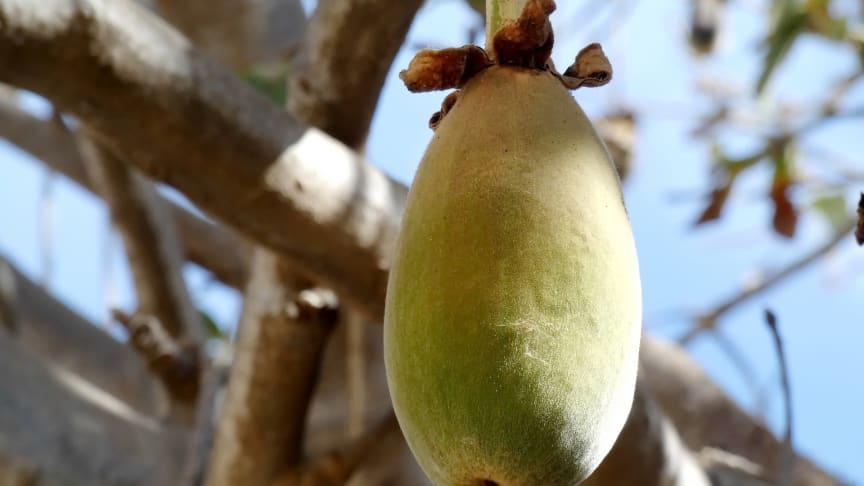 Exotisk frukt ska smaksätta ny burgare