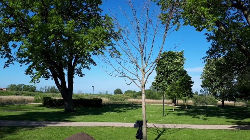 Vid invigningen ska vårdträdet bli färdigplanterat och minnesskylten avtäckt. Det sibiriska korkträdet får en fin placering i Tivoliparkens södra del.
