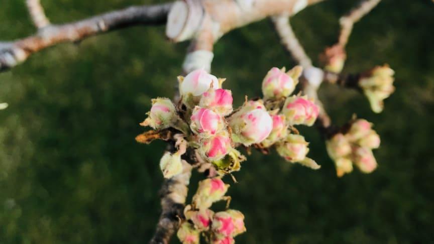 Päronträdet av sorten William i sin blomning på redaktörens koloni!