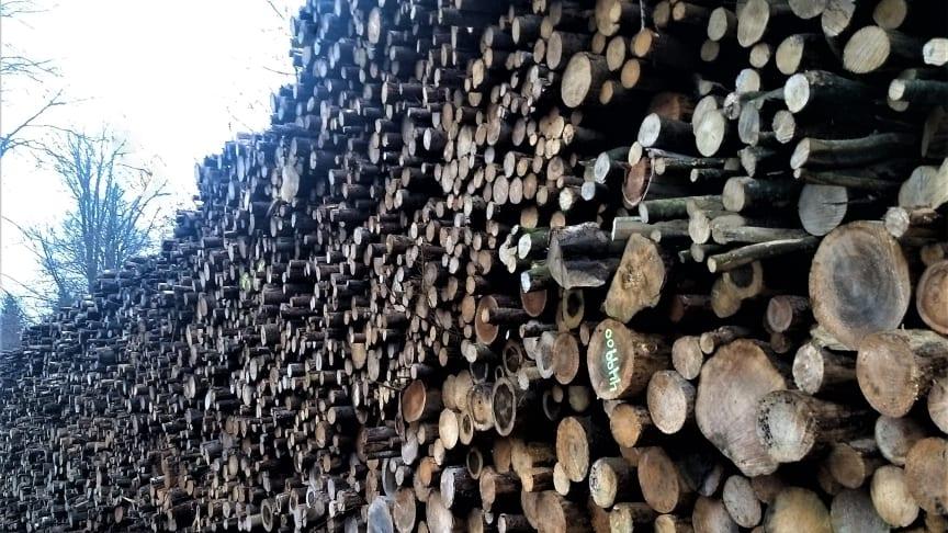 Fældet træ i Gribskov ligger klar til at blive fræset op til at blive brændt som biomasse