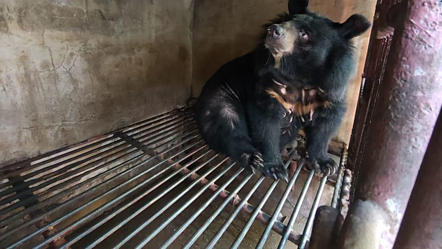 """Dieser """"Galle-Bär"""" - hier in seinem alten Käfig - konnte mit Unterstützung der Welttierschutzgesellschaft Ende Februar in ein Schutzzentrum gebracht werden. (Foto: Free The Bears)"""