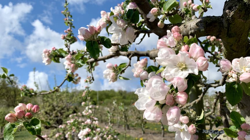 Det varmare klimatet ger rekordtidig äppelblomning