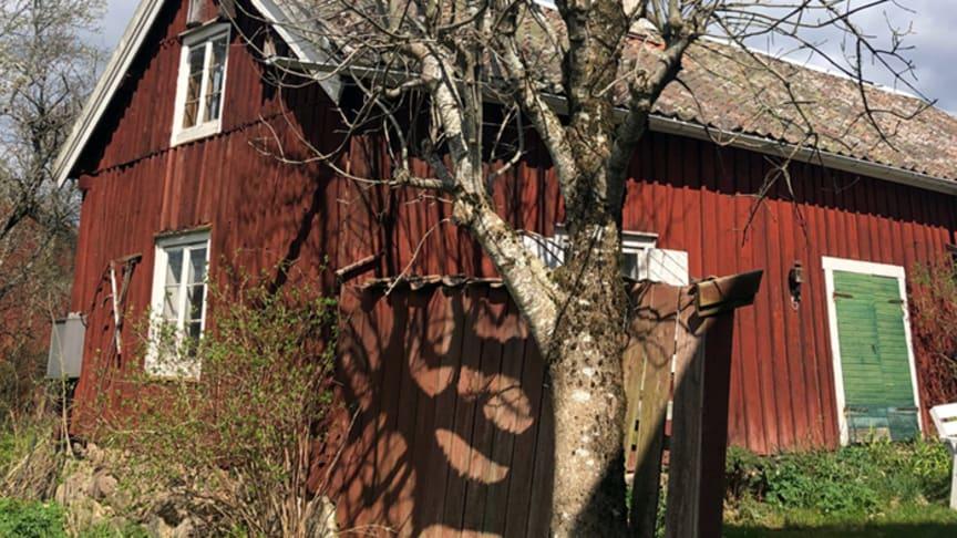 Rödlistad ask Fraxinus excelsior. Foto: Kjell Andersson