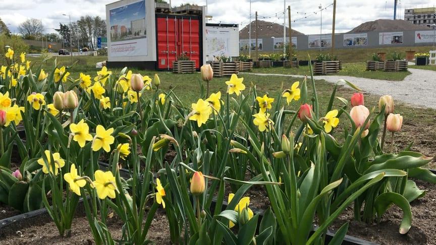 Den 22 maj, den biologiska mångfaldens dag, är det premiär för tipspromenaden i Riksbyggens pop-up trädgård.