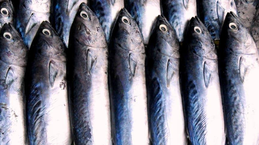 Fiskmjöl som används som foder till andra djur bidrar till utfiskning av haven.