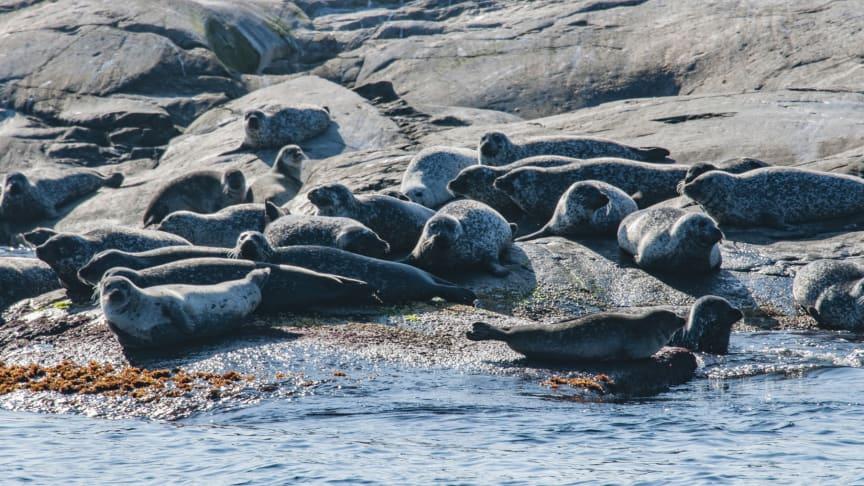 Klimatförändringar, övergödning och fiske är ett större hot mot östersjötorsk, sill och skarpsill än fiskätande sälar. Foto: Jan Kansanen/Mostphotos.