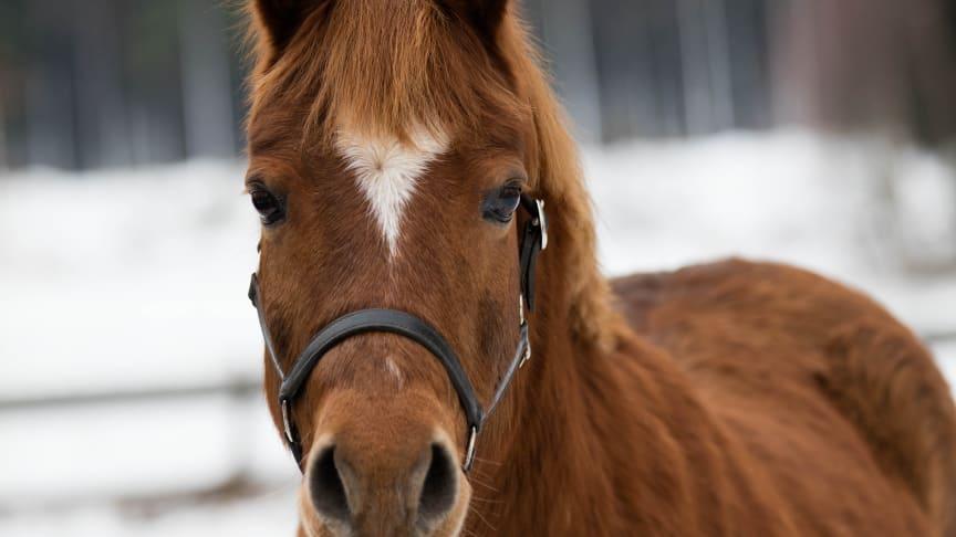 Brun häst i snölandskap