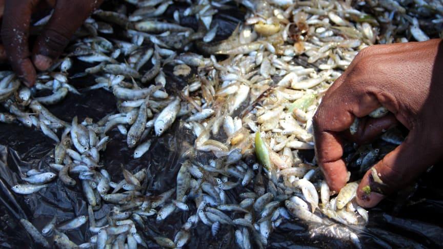 Fiske med myggnät ger en fångst med många små fiskar.