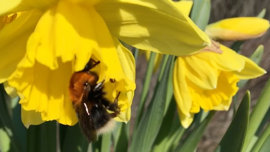 Humla på påsklilja i arbete. Pollinering pågår. Svenskt Sigill räddar humlor.