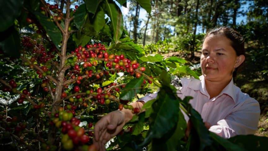En av kaffebøndene som har deltatt i prosjektet holder til i Marcala, La Paz, i Honduras.