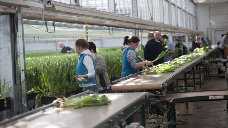 Försäljningen av tulpaner går trögare än normalt.