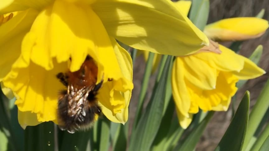 Humlan jobbar så pollenet yr! Svenskt Sigill vill hjälpa till att få fler humlor i naturen.