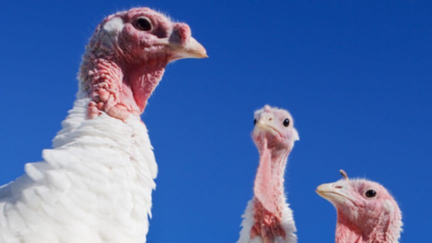 Turkeys--900pxo