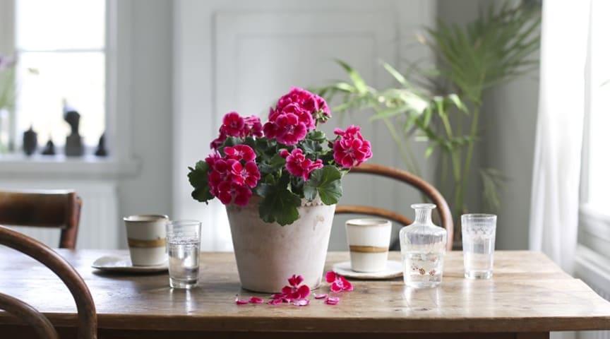 Zonalpelargon Tango Deep Rose With Eye är Årets Pelargon 2020 Foto: Blomsterfrämjandet
