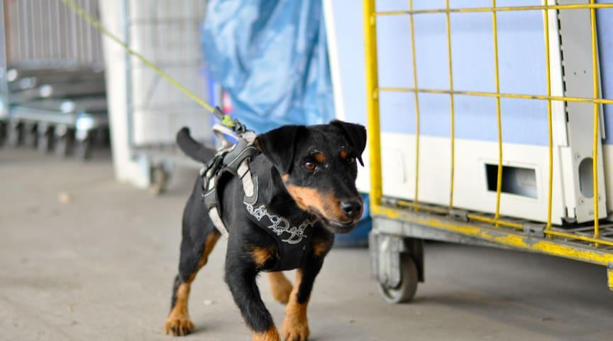 Råttsökhunden Clara i arbete. Clara finns hos Nomors samarbetspartner Vilson Detect & Inspect.
