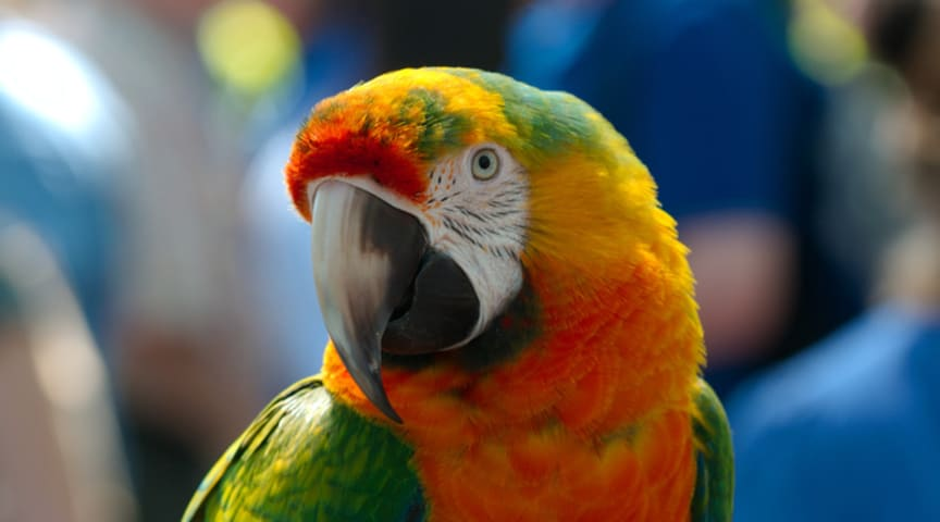 COMMENT: How the parrot got its chat (and its dance moves)
