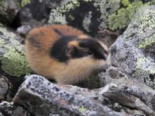 Fjällämmeln kan ha överlevt istiden i Skandinavien