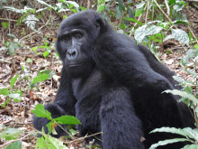 Gorillas Nearly Missed