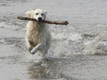 Vattensvans hos hundar