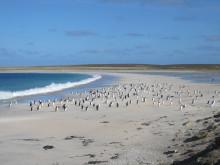 Bleaker Island Penguins