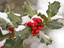 COMMENT: The holly and the ivy: how pagan practices found their way into Christmas