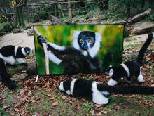 Verklighetstrogen bildkvalitet ska hjälpa lemurer och langurer att anpassa sig till ett nytt liv i det vilda