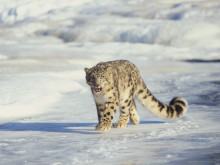 Sarah Marshall goes in search of the Snow Leopard with Exodus