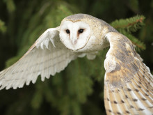 Boxing clever in Lincolnshire to help save UK's barn owls