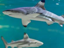 Premiär för Aquarias nyrenoverade havsutställning