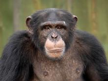 Furuvik har fått en ny schimpanshane