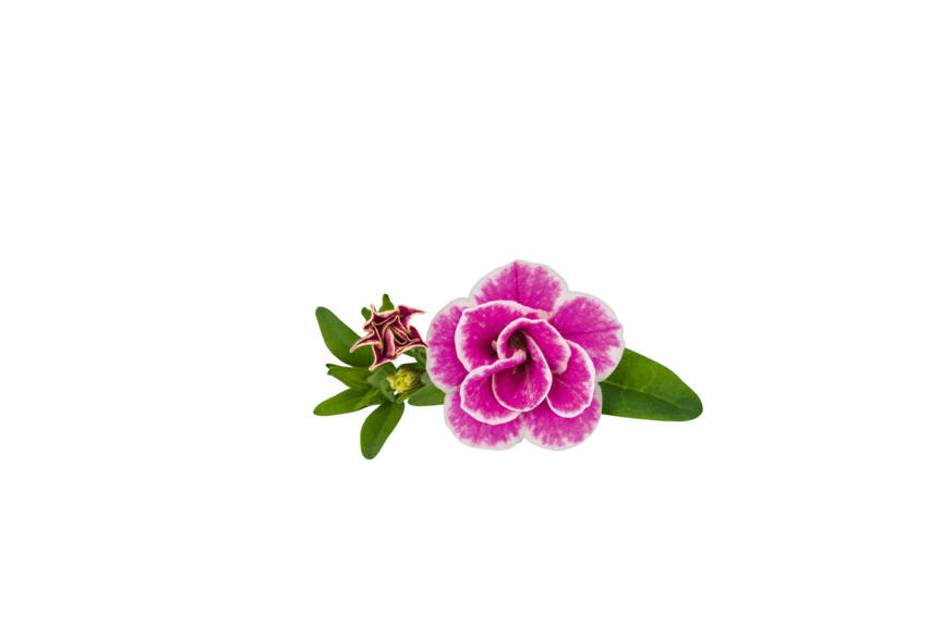 Småpetunia Calibrachoa Sweet Love