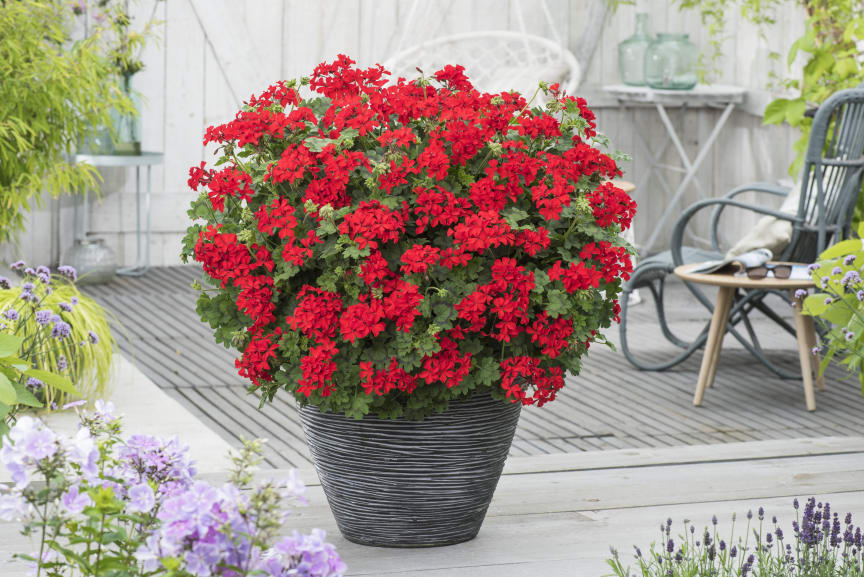 Pelargon Pelargonium interspecific Red Explosion