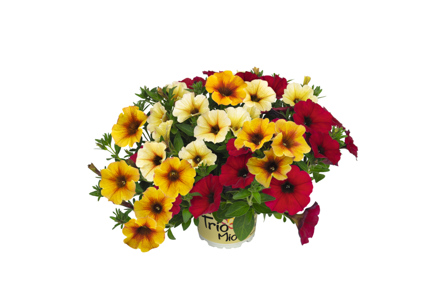Petchoa x hybrida BeautiCal